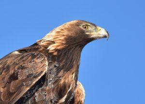 Golden Eagle, Eagle, Eagle hunting,